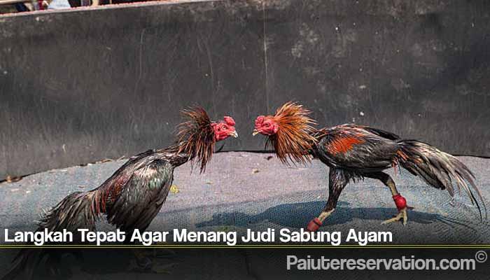 Langkah Tepat Agar Menang Judi Sabung Ayam