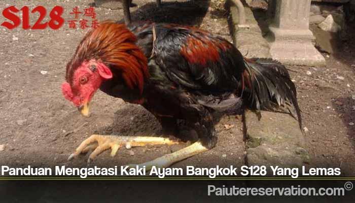 Panduan Mengatasi Kaki Ayam Bangkok S128 Yang Lemas