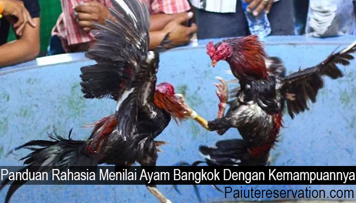 Panduan Rahasia Menilai Ayam Bangkok Dengan Kemampuannya