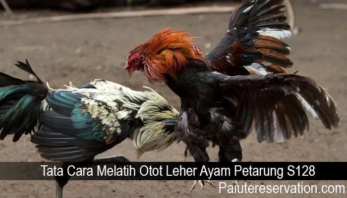 Tata Cara Melatih Otot Leher Ayam Petarung S128